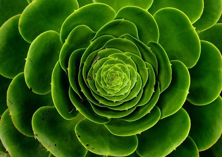pianta grassa con forma di rosa