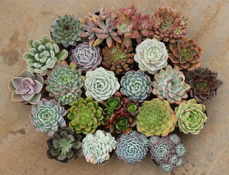 Piccole piante grasse o anche chiamate succulente.
