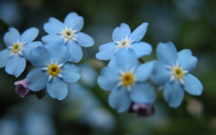 Matrimonio Fiori Azzurri : Fiori azzurri fiorista significato dei