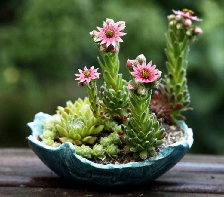 Fiori di piante grasse in vaso