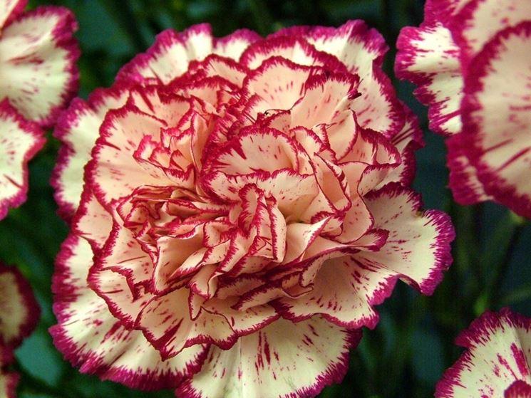 Garofano, fiore di giugno