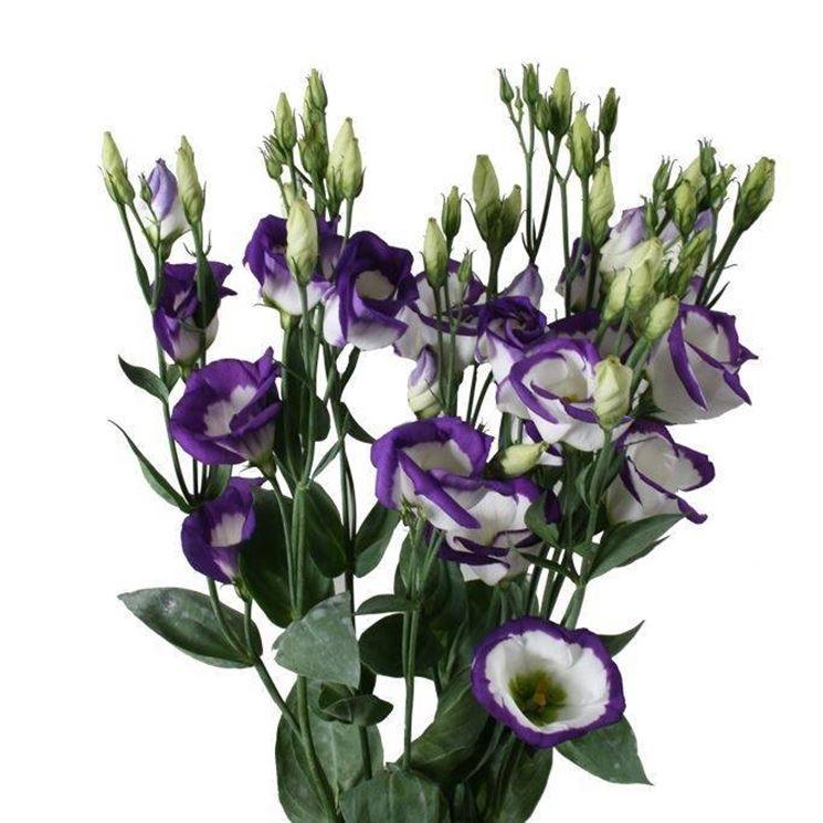 Lisianthus bianchi e viola