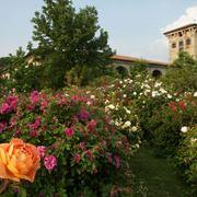 Cespugli di rose da giardino