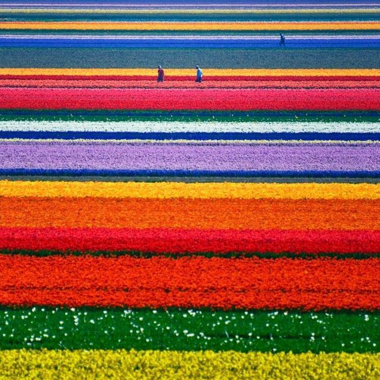 Campi di tulipani nei Paesi Bassi