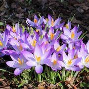 Fiore primaverile Crocus