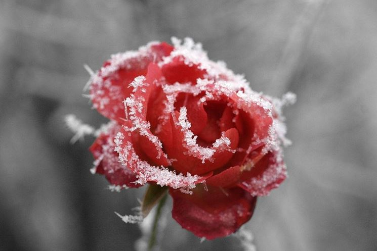 Rosa rossa invernale