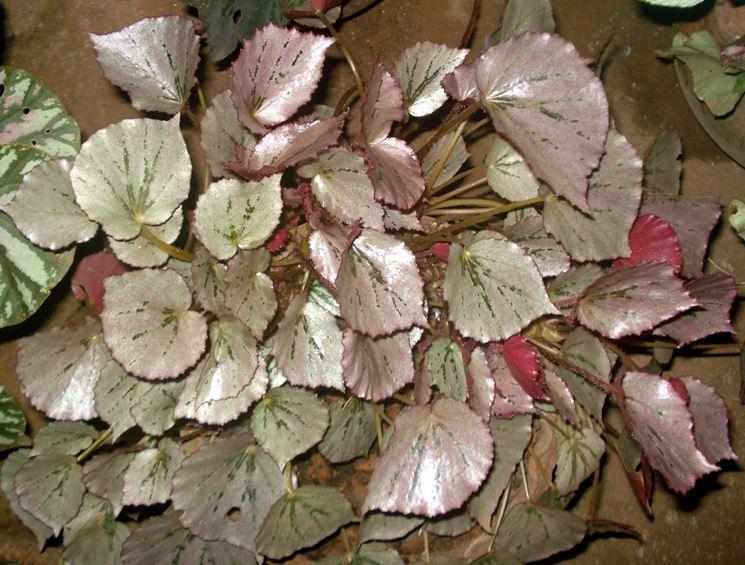 Un esemplare di Begonia