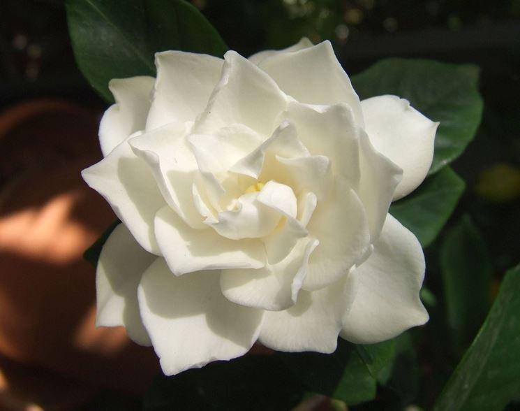 Un fiore di Gardenia