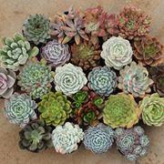 piante grasse dall'alto