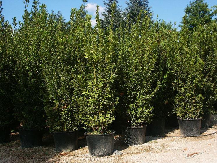 Piante on line fiorista vednita piante on line for Piante da terrazzo sempreverdi