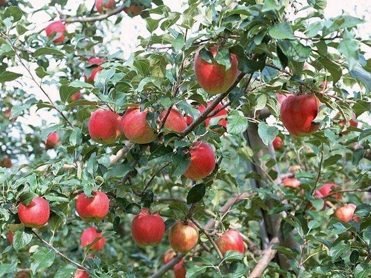 alberi di melo