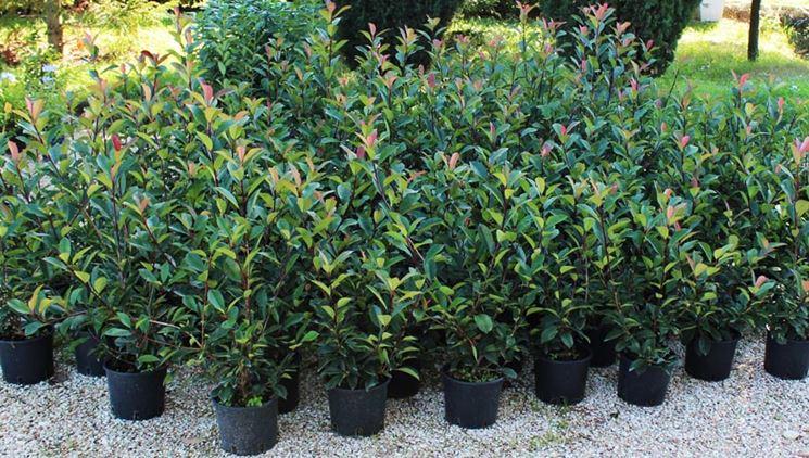 Piante vendita online fiorista piante acquistabili online for Piante da siepe sempreverdi