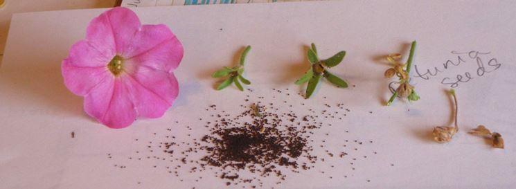 Semi di petunia