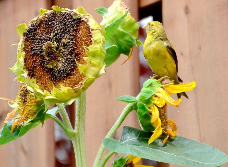 Uccello che mangia semi di girasole