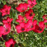 fiori di lino