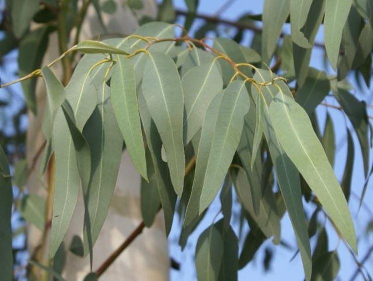 Un esemplare di eucalipto