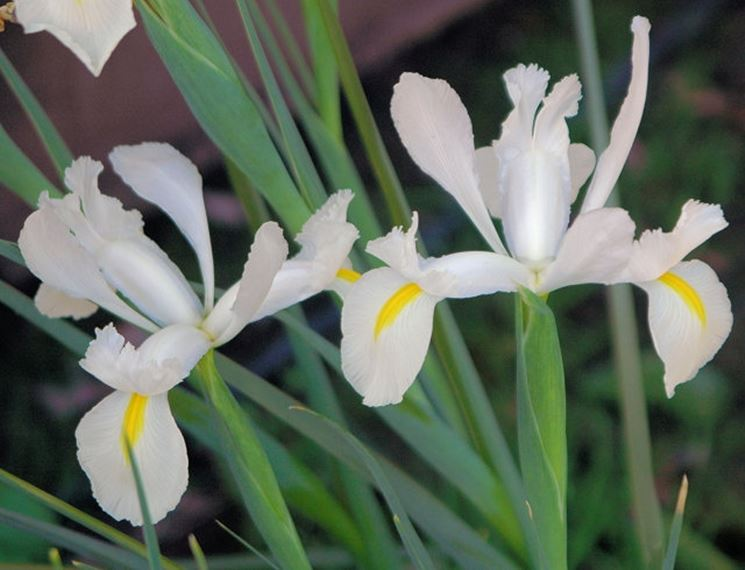 pianta di iris