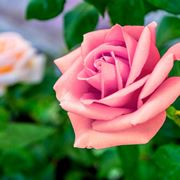 rose per compleanno