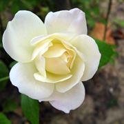 rose rosse significato