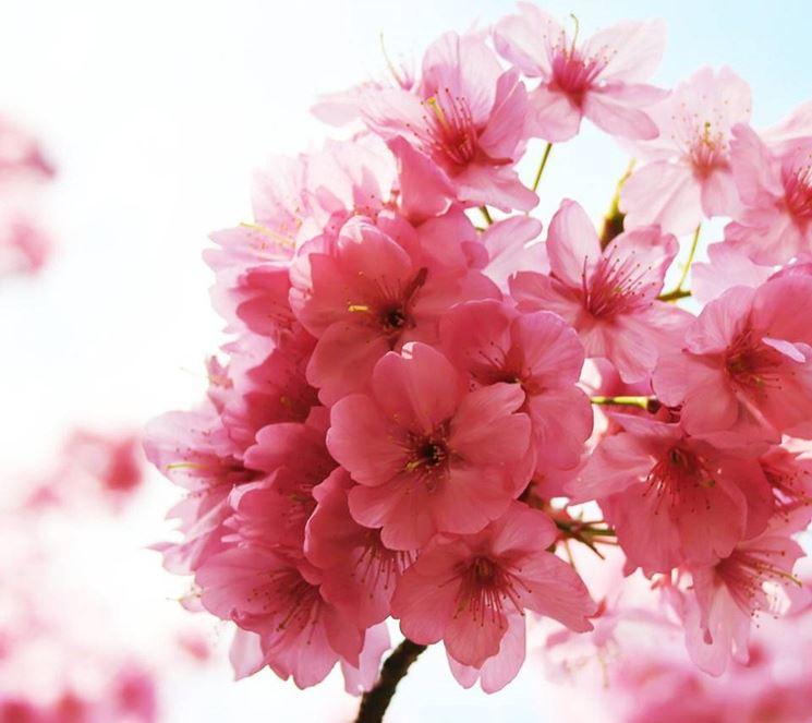 Fiore di ciliegio significato dei fiori for Fiori di ciliegio dipinti