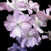 """""""fiore di mandorlo"""""""