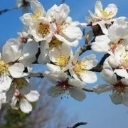 fiori mandorlo