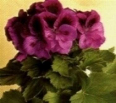 fiore di geranio rosa