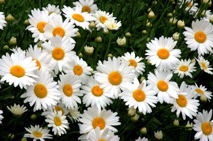 fiore di centaurea