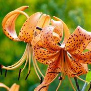 giglio fiore
