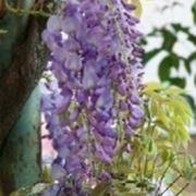"""fiori di glicine viola"""