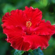 """""""fiore di ibisco"""""""