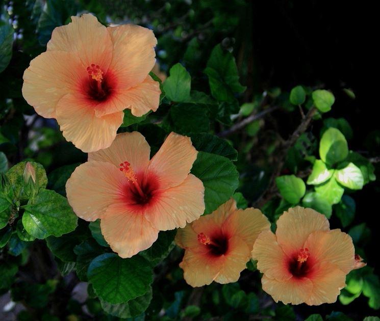 fiori ibisco arancione