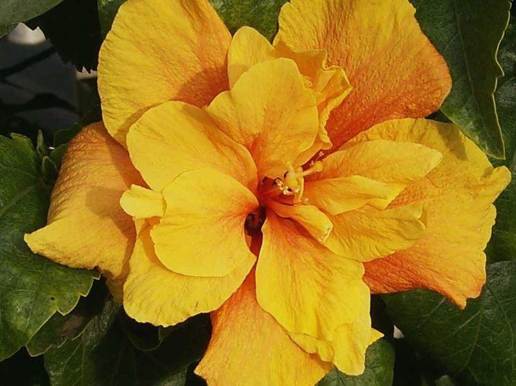 fiore doppio ibisco