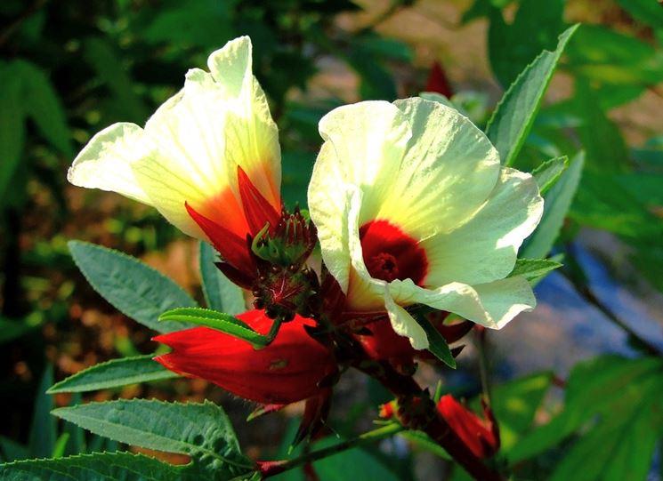 Significato ibisco significato dei fiori ibisco for Ibisco rosso