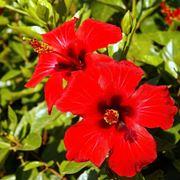 hibiscus fiore