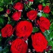 """""""fiore di rosa"""""""