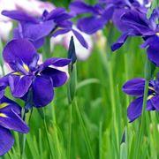 Significato Iris