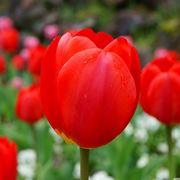 iris fiore