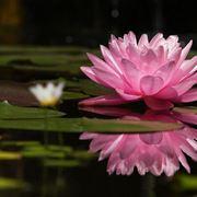 fiore di nelumbo