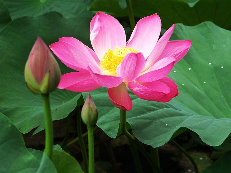 fiore di loto bocciolo