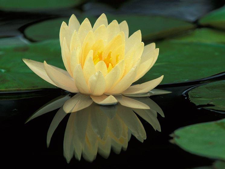 fiore di nelumbo gialla