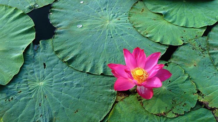 fiore di nelumbo rosa