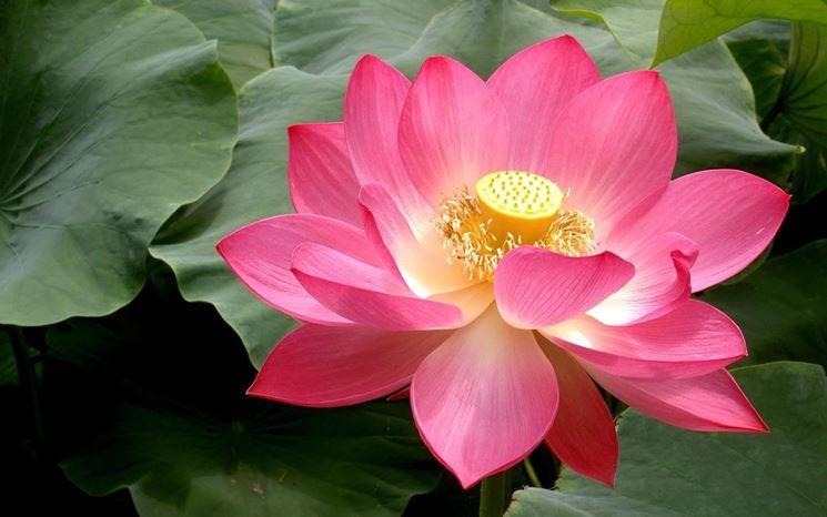 fiore di loto rosa