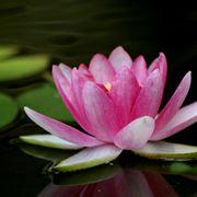 fiore di loto significato