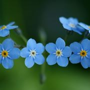 fiore di myosotis