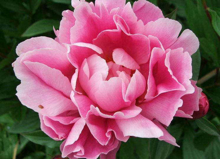 fiore di peonia rosa
