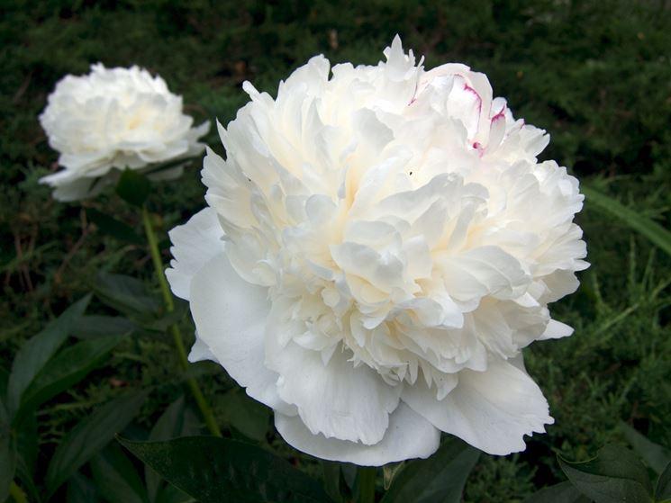 fiore di peonia bianco
