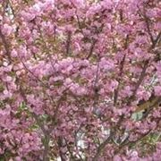 fiori giapponesi