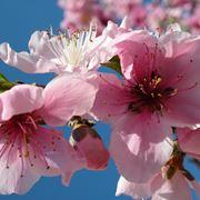 fiori cinesi