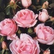 """""""rose rosa fiorite"""""""